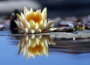 1280px-Flower_reflection