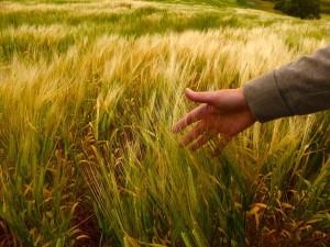 wheat-582708_640