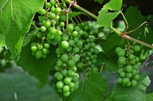 bunch-of-grapes-849616_640
