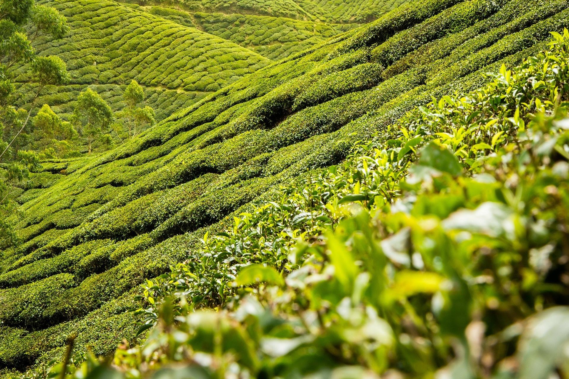 Southeast Asia Landscape Coffee Plants